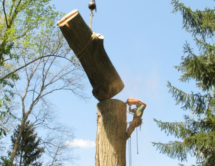 Picture shows a certified arborist cutting a big tree trunk